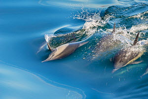 Common Dolphins (Delphinus delphis) swimming near Isla Animas, Sea of Cortez, Baja Sur, Mexico.  -  Jack  Dykinga