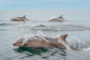 Bottlenose dolphins (Tursiops truncatus) near Isla Animas, Sea of Cortez, Baja Sur, Mexico.  -  Jack  Dykinga