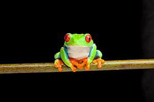 Red-eyed leaf frog (Agalychnis callidryas) from Central America - Chris  Mattison