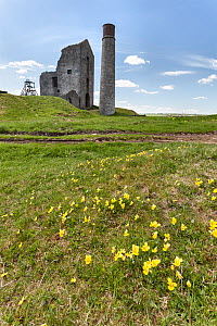Mountain pansies (Viola lutea) growing on spoil heap near an old lead mine (Magpie Mine) Derbyshire, England, UK, May. - Chris  Mattison