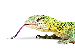 Green tree monitor (Varanus prasinus) with tongue extended, captive from SE Asia.  -  Chris  Mattison