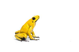 Yellow poison dart frog (Phyllobates terribilis) the world's most poisonous amphibian captive from northern South America. - Chris  Mattison