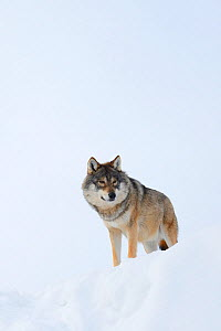 European grey wolf (Canis lupus) in snow, captive, Norway, February.  -  Edwin  Giesbers