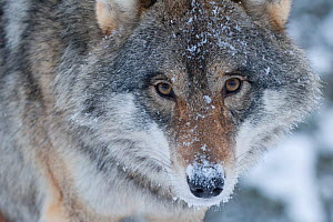 RF- Close-up portrait of a European grey wolf (Canis lupus), captive, Norway, February. (This image may be licensed either as rights managed or royalty free.)  -  Edwin  Giesbers