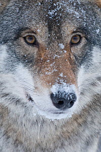 Close-up portrait of a European grey wolf (Canis lupus), captive, Norway, February. - Edwin  Giesbers