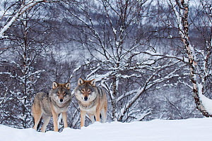 Two European grey wolves (Canis lupus) in woodland, captive, Norway, February. - Edwin  Giesbers