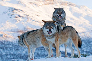 Three European grey wolves (Canis lupus), captive, Norway, February. - Edwin  Giesbers