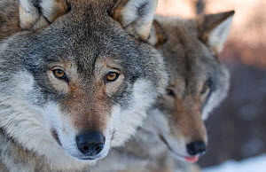 RF- Head portrait of a European grey wolf (Canis lupus), with a second in the background, captive, Norway, February. (This image may be licensed either as rights managed or royalty free.)  -  Edwin  Giesbers