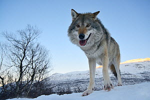 Wide angle close-up of a European grey wolf (Canis lupus) in landscape, captive, Norway, February.  -  Edwin  Giesbers