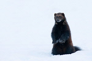 Female Wolverine (Gudo gudo) standing up in snow, captive, Norway, February. - Edwin  Giesbers