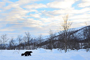 Female Wolverine (Gudo gudo) in snow covered landscape, captive, Norway, February. - Edwin  Giesbers