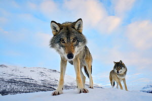 Wide angle close-up of two European grey wolves (Canis lupus), captive, Norway, February. - Edwin  Giesbers