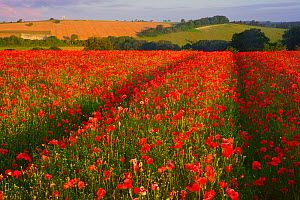 Poppy (Papaver rhoeas) field, South Downs National Park, Sussex, England, UK. July. - Peter  Lewis