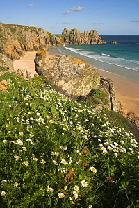View across to Pendnvounder Beach, with Anthemis flowers in the foreground, Treen, Cornwall, England, UK, May 2012. - Peter  Lewis