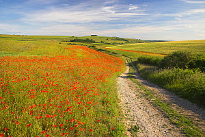 Rural road through the Poppy (Papaver rhoeas) fields. South Downs National Park, Arundel, West Sussex, England, UK. June. - Peter  Lewis