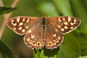 Speckled Wood (Pararge aegeria) Petersfield, Hampshire, England, UK. April.  -  Peter  Lewis