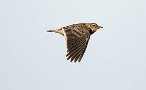 Calandra lark (Melanocorypha calandra) in flight, Castro Verde, Alentejo, Portugal, April  -  Roger Powell