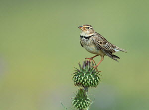 Calandra lark (Melanocorypha calandra) perched on a thistle, Castro Verde, Alentejo, Portugal, April  -  Roger Powell