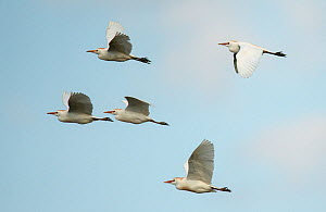 Five Cattle egrets (Bubulcus ibis) in flight, Castro Verde, Alentejo, Portugal, April. - Roger Powell
