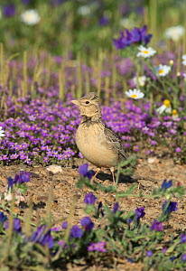 Crested lark (Galerida cristata) on the ground  in a flower meadow, Castro Verde, Alentejo, Portugal, April.  -  Roger Powell
