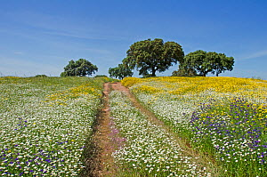 Cart tracks in a flowering meadow, with Cork oaks (Quercus suber) in the background, Beja, Portugal, April. - Roger Powell