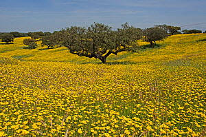 Meadow in flower, with Cork oaks (Quercus suber) in the background, Beja, Portugal, April.  -  Roger Powell