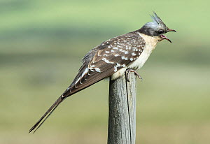 Great spotted cuckoo (Clamator glandarius) perched on a post, calling, Castro Verde, Alentejo, Portugal, April.  -  Roger Powell