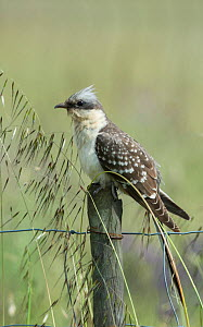 Great spotted cuckoo (Clamator glandarius) perched on a post, Castro Verde, Alentejo, Portugal, April.  -  Roger Powell