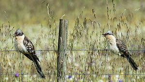 Two Great spotted cuckoos (Clamator glandarius) perched on a fence, with beaks open to cool down, Castro Verde, Alentejo, Portugal, April.  -  Roger Powell