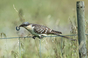 Great spotted cuckoo (Clamator glandarius) perched on a fence, with caterpillar prey, Castro Verde, Alentejo, Portugal, April.  -  Roger Powell