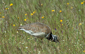 Male Little bustard (Tetrax tetrax) feeding on insects, Castro Verde, Alentejo, Portugal, April.  -  Roger Powell