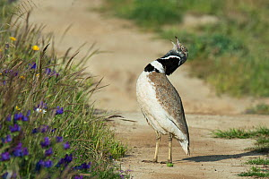 Male Little bustard (Tetrax tetrax) displaying on a track, Castro Verde, Alentejo, Portugal, April.  -  Roger Powell