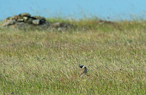 Male Little bustard (Tetrax tetrax) displaying, Castro Verde, Alentejo, Portugal, April.  -  Roger Powell