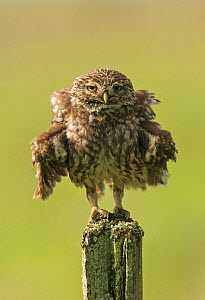 Little owl (Athene noctua) perched on a fence post, ruffling its feathers, Castro Verde, Alentejo, Portugal, April.  -  Roger Powell
