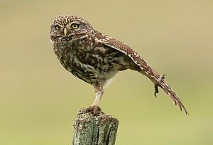Little owl (Athene noctua) perched on a fence post, stretching its wings, Castro Verde, Alentejo, Portugal, April.  -  Roger Powell