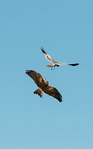 Pair of Montagu's harriers (Circus pygargus) undertaking a courtship food pass, Castro Verde, Alentejo, Portugal, April.  -  Roger Powell