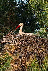 White Stork (Ciconia ciconia) sitting on a nest, with Spanish sparrows (Passer hispaniolensis) nesting underneath, Castro Verde, Alentejo, Portugal, April.  -  Roger Powell