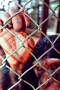 Chimpanzee (Pan troglodytes schweinfurthii) in cage, confiscated from poachers, housed in Epulu, Okapi Wildlife Reserve, Orientale Province, North-East, Democratic Republic of Congo - Jabruson