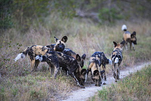 Pack of African wild dogs (Lycaon, pictus) smelling a scent on a trail, Mala Mala Game Reserve, South Africa, June.  -  Christophe Courteau