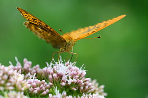 Male silver-washed fritillary butterfly (Argynnis paphia) taking nectar from hemp agrimony flower, Dorset, UK. August  -  Colin Varndell
