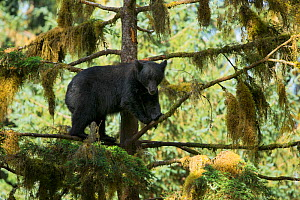 Large Black Bear (Ursus americanus) high in a Sitka Spruce tree (Picea sitchensis), alongside Anan Creek, Alaska, July. - Charlie  Summers