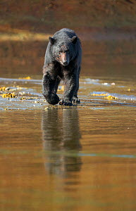 Black Bear (Ursus americanus) hunting for spawning Salmon during low tide, Neets Creek estuary, Alaska, July. - Charlie  Summers