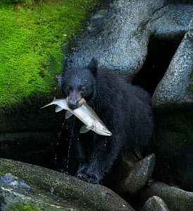 Black Bear (Ursus americanus) with Pink Salmon (Oncorhynchus gorbuscha) catch, Anan Creek, Alaska, July. - Charlie  Summers