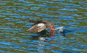 Pigeon Guillemot (Cepphus columba) taking off from the sheltered waters of The Brothers Islands in Frederick Sound, Alaska, August.  -  Charlie  Summers
