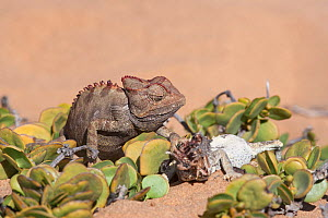 Namaqua chameleon (Chamaeleo namaquensis) with remains of rival male killed in fight, Namib desert, Namibia, Africa (May )  -  Ann  & Steve Toon
