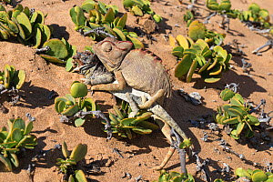 Namaqua chameleon (Chamaeleo namaquensis) attempting to mate with remains of rival male killed in fight, Namib desert, Namibia, Africa (May )  -  Ann  & Steve Toon