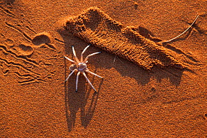 Dancing white lady spider (Leucorchestris arenicola), with silk lining from burrow (unearthed by jackal),  Namib Desert, Namibia, May. - Ann  & Steve Toon