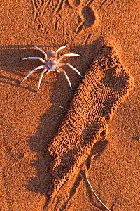 Dancing white lady spider (Leucorchestris arenicola) with silk lining from burrow (unearthed by jackal), Namib Desert, Namibia, May.  -  Ann  & Steve Toon
