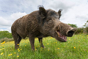 Wild boar (Sus scrofa), captive, UK, June  -  Ann  & Steve Toon
