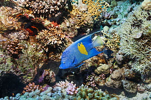 Yellowbar angelfish (Pomacanthus maculosus) swimming over coral reef. Egypt, Red Sea.  -  Georgette Douwma